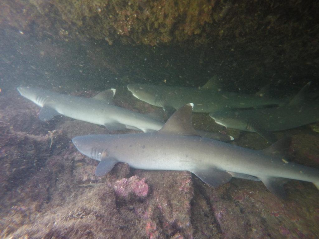 Kulminacja efektu wow!, czyli whitetip reef sharks - niestety nie znamy polskiej nazwy...
