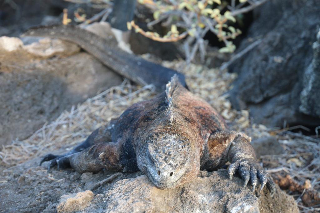 W drodze na klify z La Loberia - leżące na szlaku iguany utrudniają wędrówkę